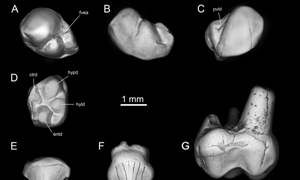 New species of early anthropoid primate found amid Libyan strife