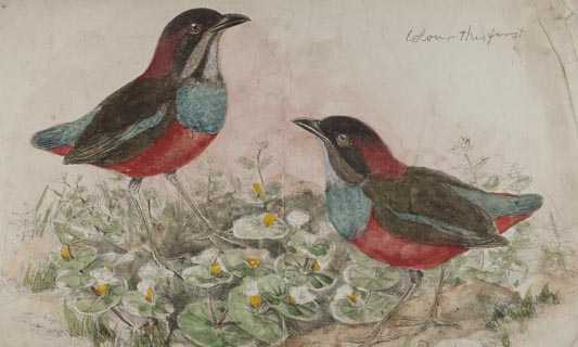 KU Libraries digitize collection of world-famous bird illustrator John Gould's books, images