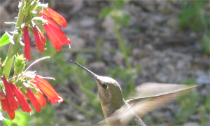 Study of flowers' co-evolution with bees and hummingbirds earns Hileman major grants