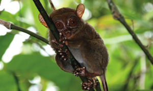 Conservation of Philippine tarsier gets boost from Kansas