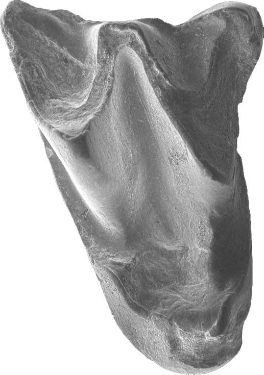 Upper molar ofAltaynycteris aurora