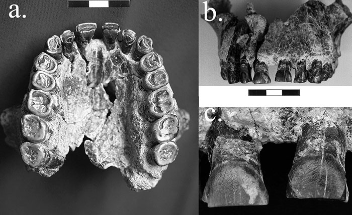 fossil teeth of Homo habilis