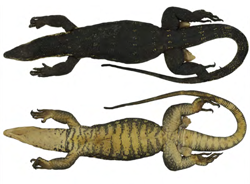 Undercover researchers expose two new species of lizard for