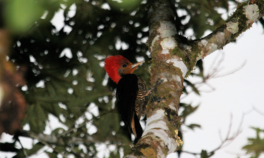 Mimic woodpecker fools competing birds, but genetics expose its true identity
